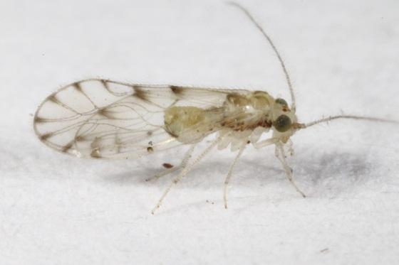 Trichopsocus dalii (McLachlan) - Trichopsocus dalii - male