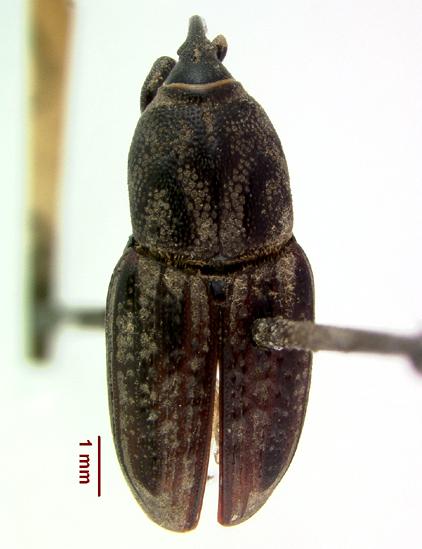 LSAM billbug 32   - Sphenophorus venatus