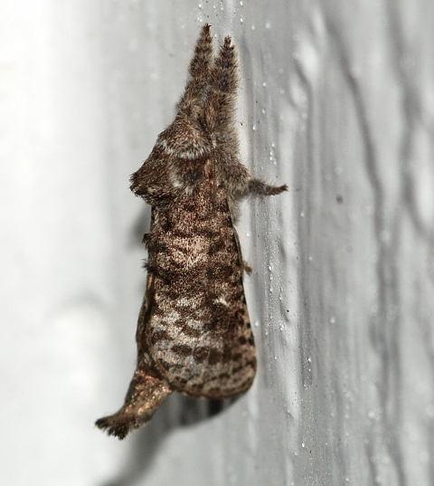 Tussock Moth ? - Givira francesca