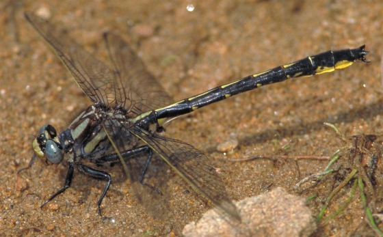 Beaverpond Clubtail in New Brunswick - Phanogomphus borealis - male
