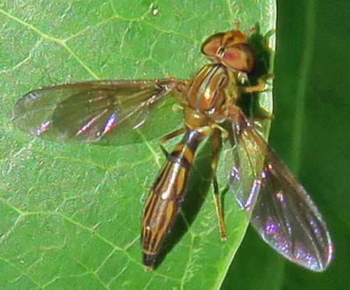 Syrphidae? - Hybobathus lineatus