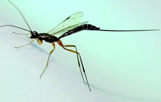 Ichneumon Wasp - Podoschistus vittifrons - female