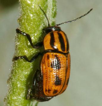 Spotted/striped beetle - Cryptocephalus castaneus