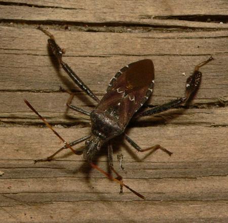 Leaf-footed Bug - Leptoglossus - Leptoglossus corculus