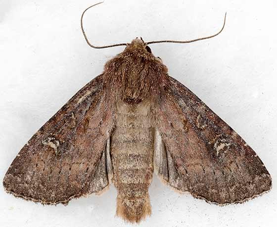 moth - Apamea cogitata - male