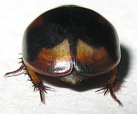 Water Scavenger Beetle? - Sphaeridium scarabaeoides