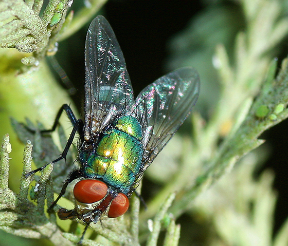 Fly dining on aphids? - Lucilia sericata
