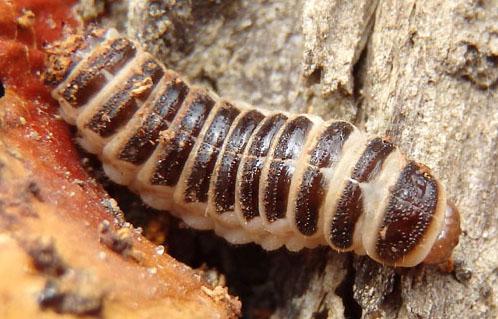 Pleasing Fungus Beetle larva - Megalodacne fasciata
