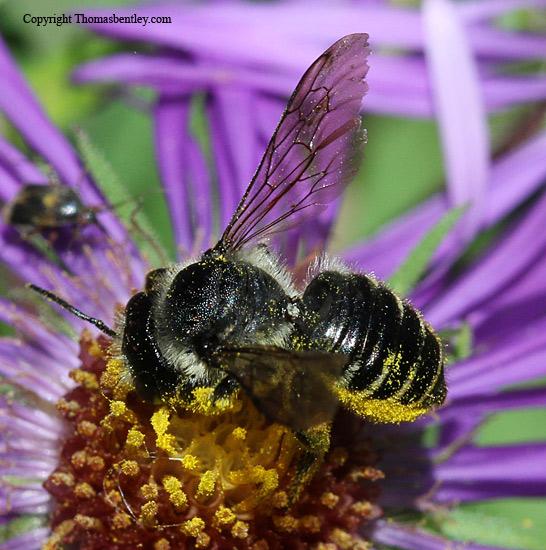 Megachilid Bee - Megachile - female