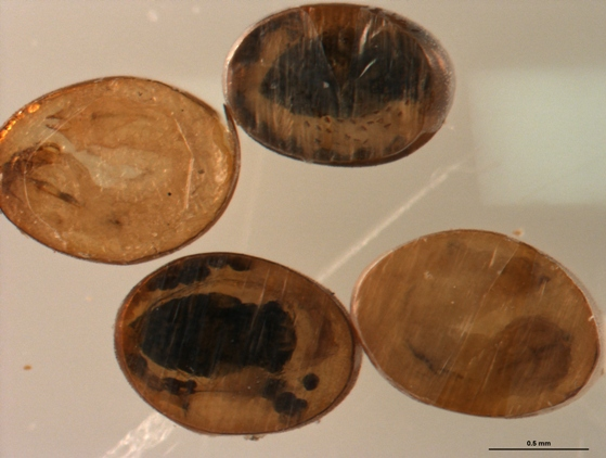 Oobius agrili