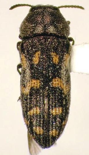 Buprestidae - Acmaeoderopsis rockefelleri