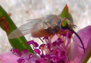coastal fly - Tmemophlebia - female