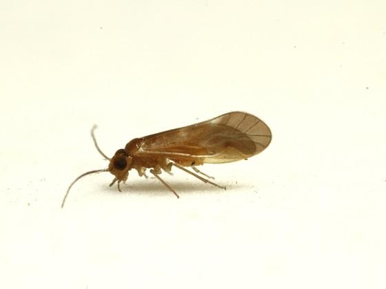Valenzuela gonostigma Enderlein 1906 - Valenzuela gonostigma - male
