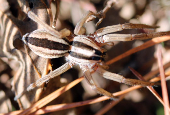 Striped Spider - Rabidosa punctulata