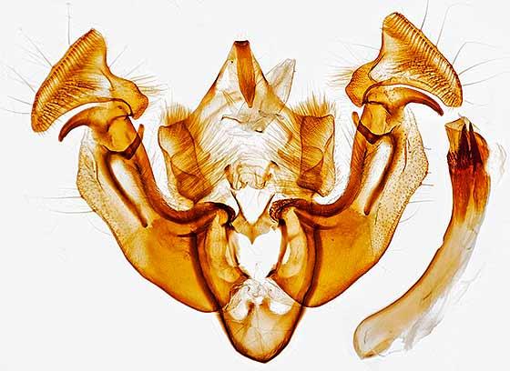 genitalia - Apamea inordinata - male