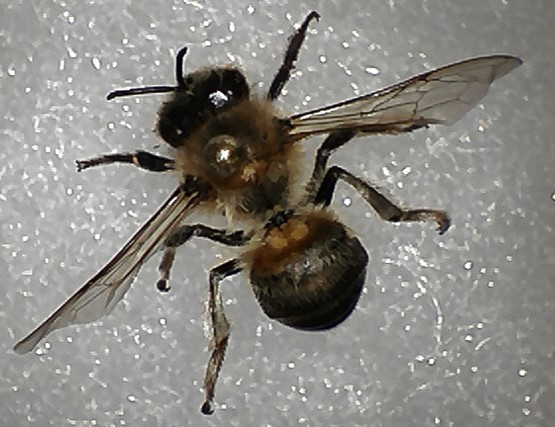 Trying to get this Hymanoptera narrowed down to family! - Apis mellifera