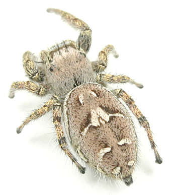 Phidippus -? - Phidippus carolinensis - female