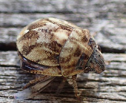 bug - Homaemus proteus
