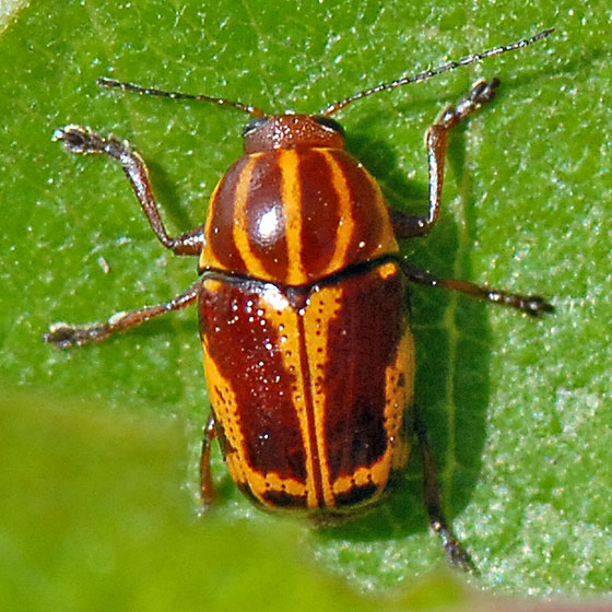 Colorful horned beetle - photo#3