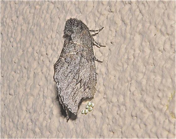 Gray moth laying eggs - Cargida pyrrha - female
