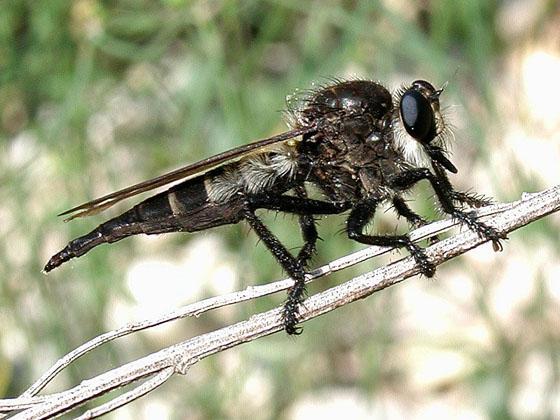 Robberfly - Promachus painteri - female