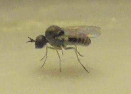 Micro Bee Fly on the sink