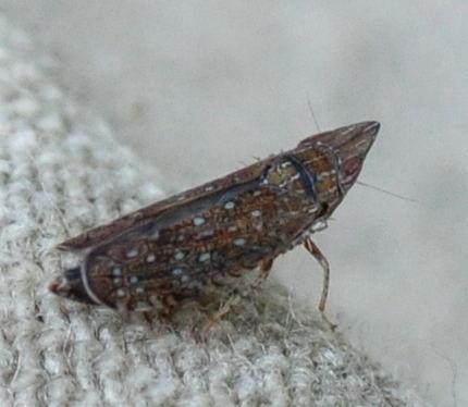 Scaphytopius acutus? - Scaphytopius