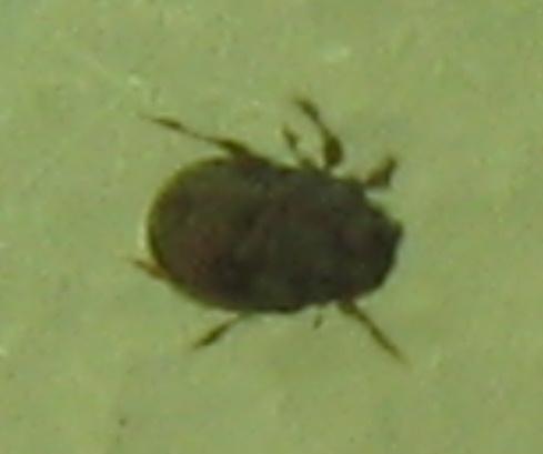 beetle-like mite - Carabodes