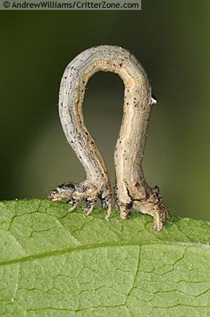 inch worm, measuring worm