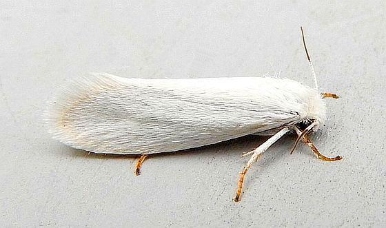 Pennsylvania Moth - Prodoxus decipiens