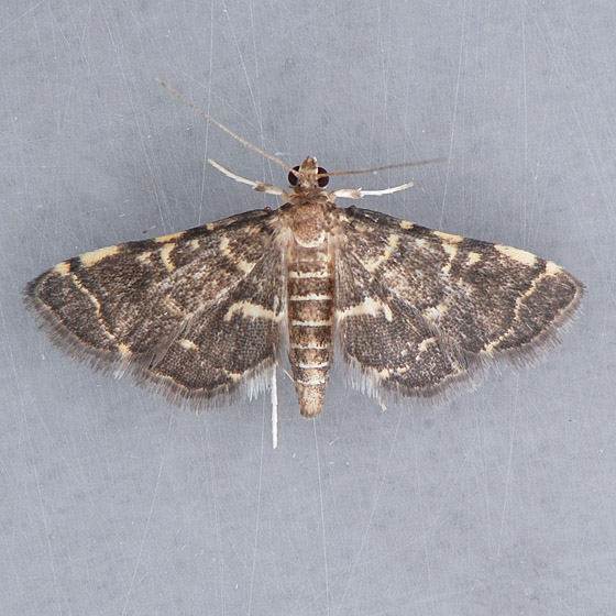 5176 Yellow-spotted Webworm  - Anageshna primordialis