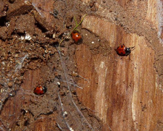 Fungus Beetle - Endomychus biguttatus