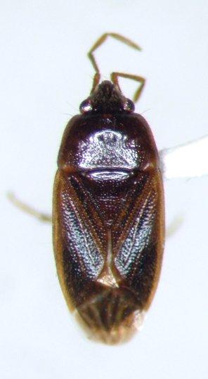 Paragonatas costaricensis