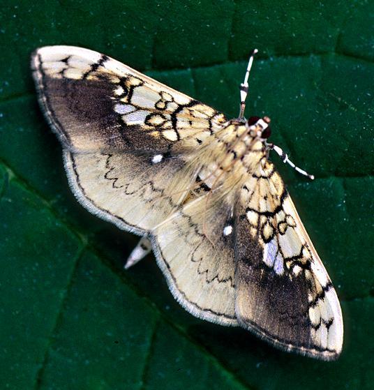 Basswood Leafroller - Pantographa limata