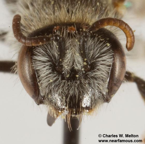 Rophitinae? - Hesperapis - female
