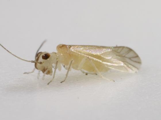 Stenocaecilius casarum Badonnel - Stenocaecilius casarum - female