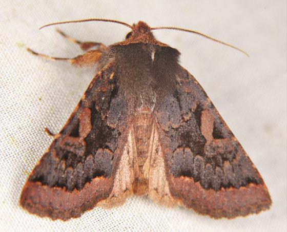 Noctuidae? - Orthosia praeses