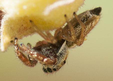 unknown Jumping Spider - Sassacus vitis
