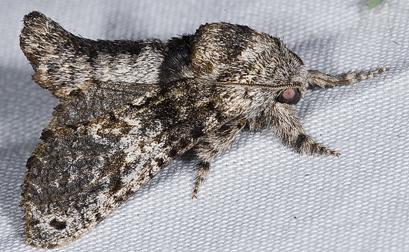 7008631 moth - Inguromorpha n-sp