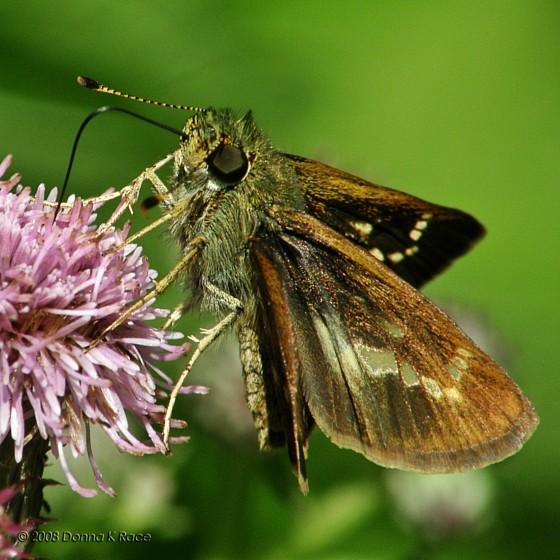 Little Glassy Wing - Pompeius verna