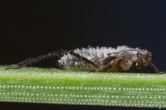 Pine insect - Eulachnus