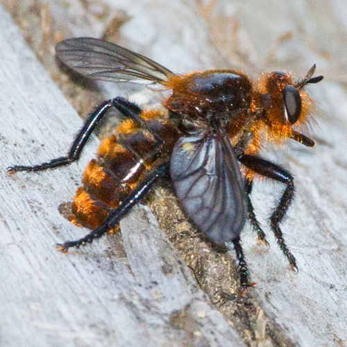 Orange colored Robber Fly - Laphria vultur - female