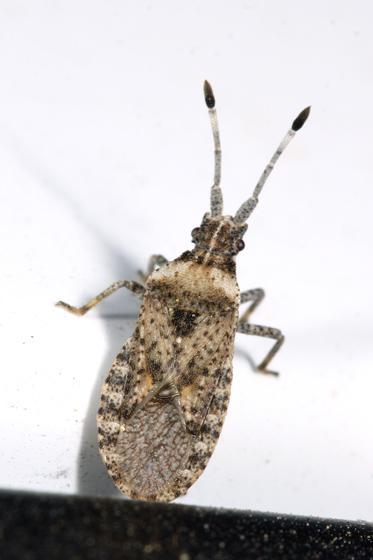 Bug - Scolopocerus uhleri