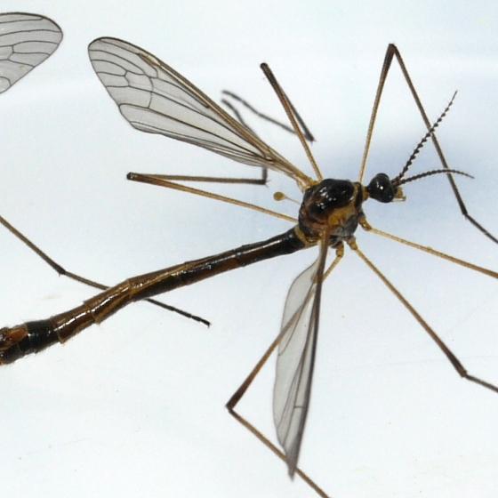 Crane Flies - Liogma nodicornis