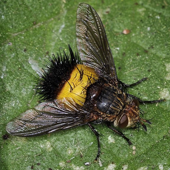 Bicolored Spiny Tachina Fly - Xanthoepalpus bicolor