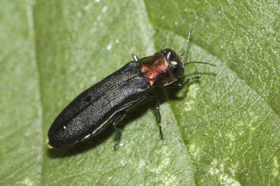 Small irridescent black and tan beetle - Agrilus ruficollis
