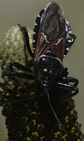 Black bug with white markings - Apiomerus montanus