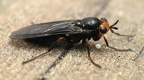 Black bug, orange head - Inopus rubriceps - female