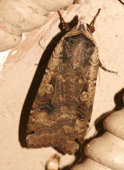 Large Yellow underwing - Noctua pronuba - Noctua
