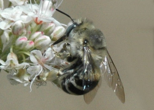 Is this bee anthophora urbana? - Anthophora urbana